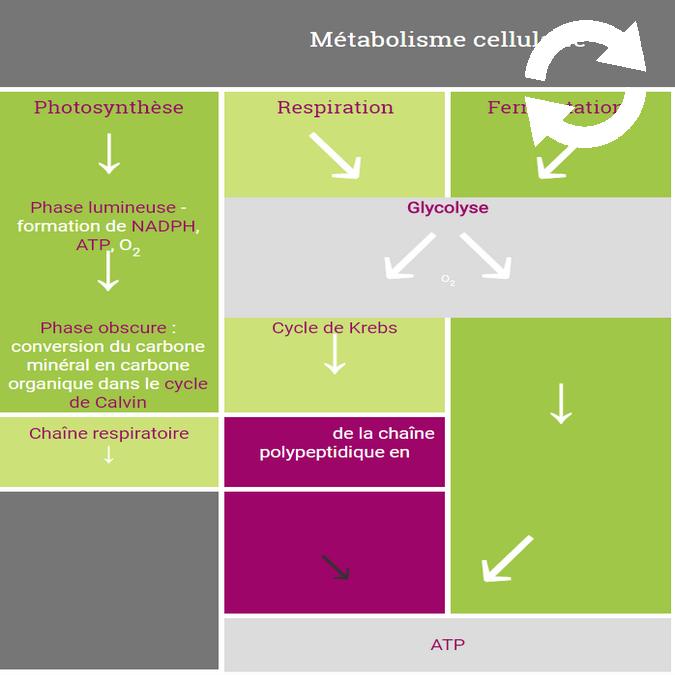 Métabolisme cellulaire