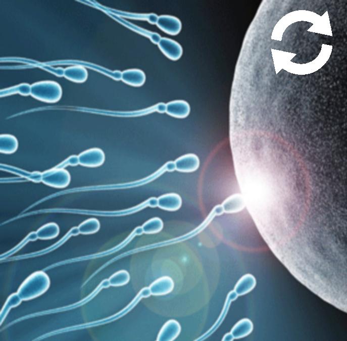 Course de spermatozoïdes jusqu'à l'ovule