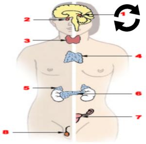 Glandes endocrines du corps humain